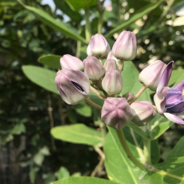Calotropis Gigantea: Crown flower