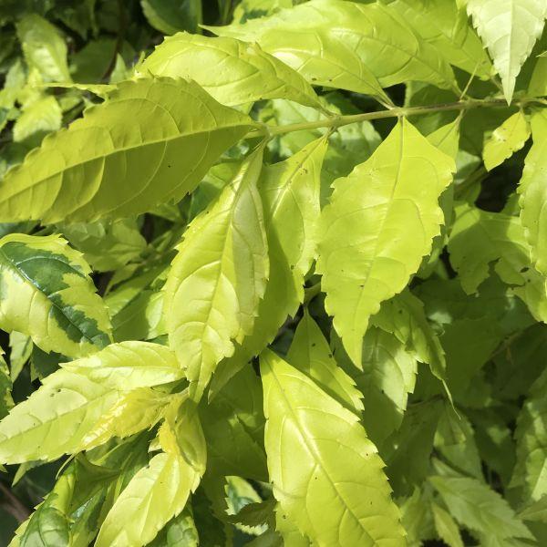 Duranta Erecta: Golden dewdrop