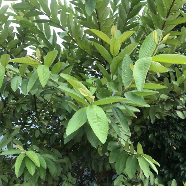 Psidium Guajava: Guava