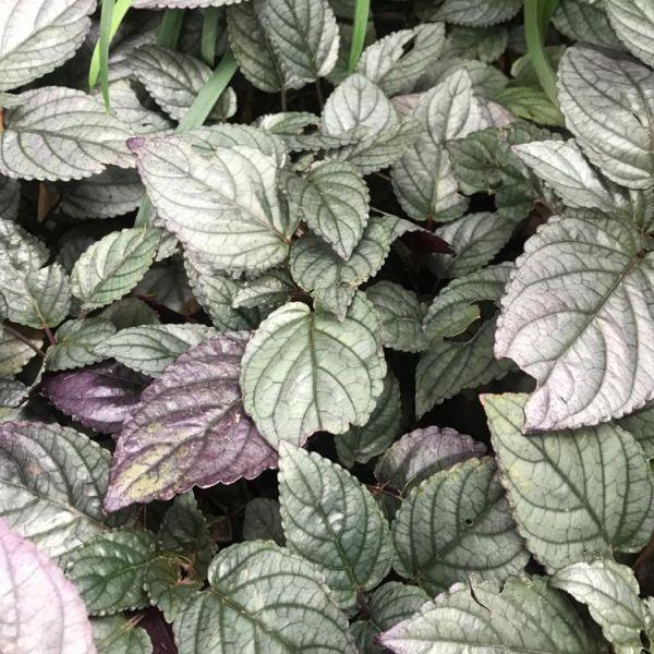 Hemigraphis Alternata: Metal leaf