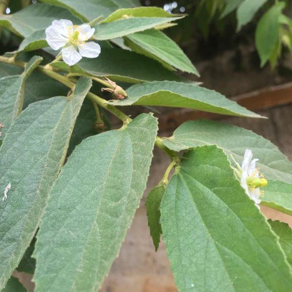 Muntingia Calabura: Jamaica cherry tree