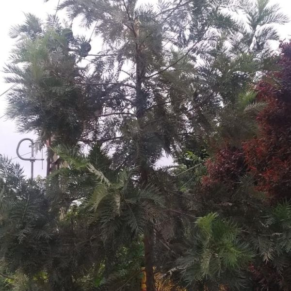 Grevillea Robusta: Silver oak