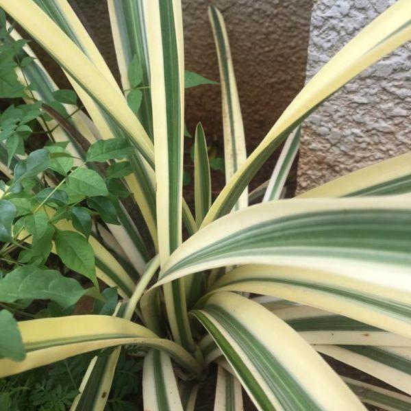 Hymenocallis Littoralis: Spider lily