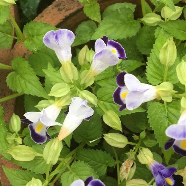 Torenia Fournieri: Wishbone flower