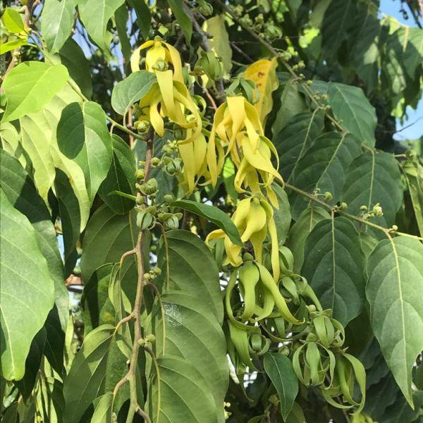 Cananga Odorata: Perfume tree