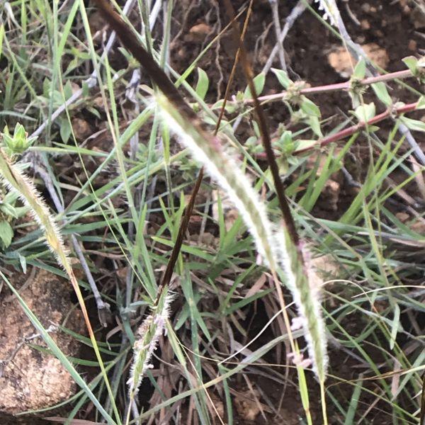 Heteropogon Contortus: Black speargrass
