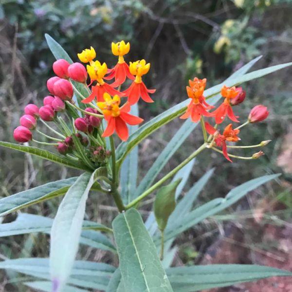 Asclepias curassavica: Bloodflower