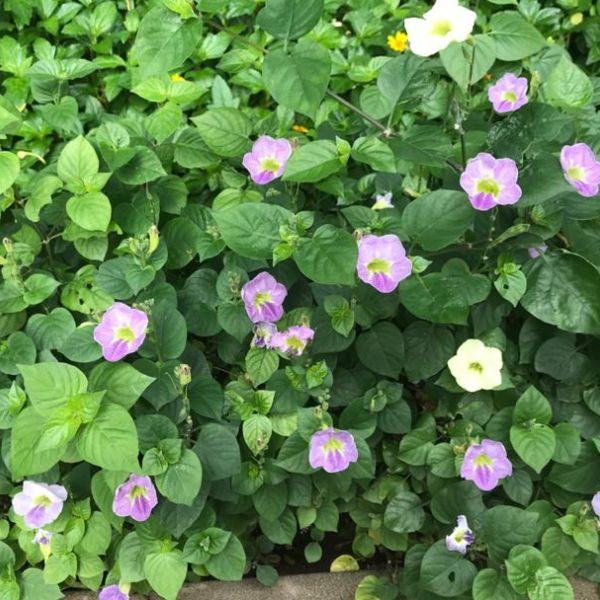 Asystasia Gangetica - Chinese-violet