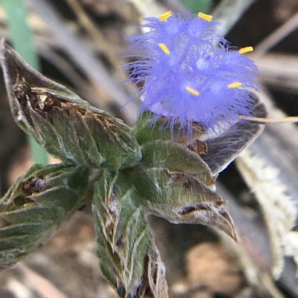 Cyanotis Arachnoidea - Grass of the dew
