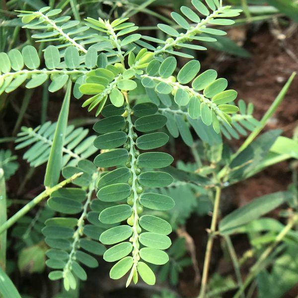 Phyllanthus Niruri - Keezhanelli