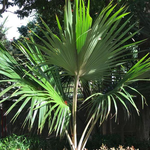Livistona chinensis: Chinese fan palm