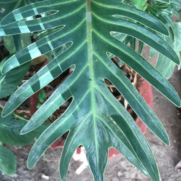 Thaumatophyllum xanadu: Xanadu