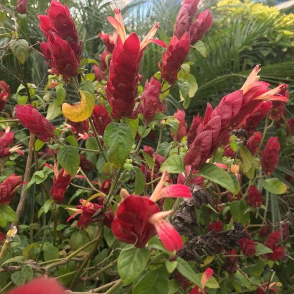 Justicia brandegeeana: Shrimp plant