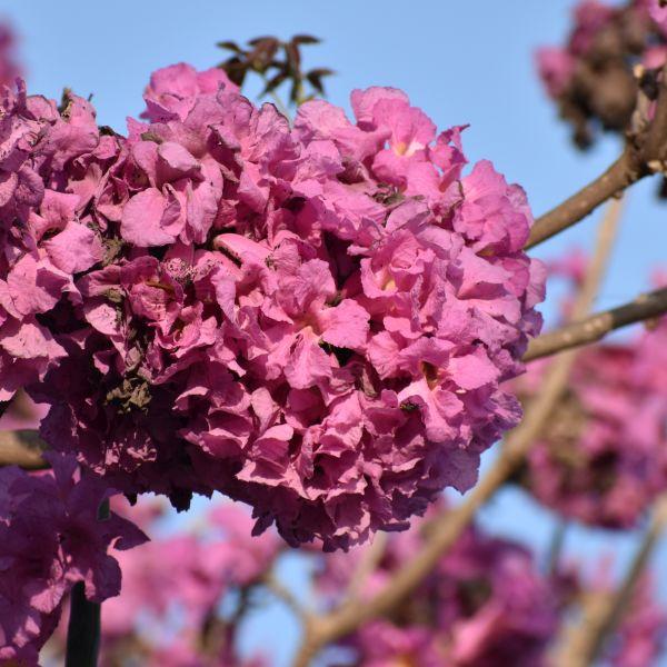 Tabebuia rosea: Rosy trumpet tree
