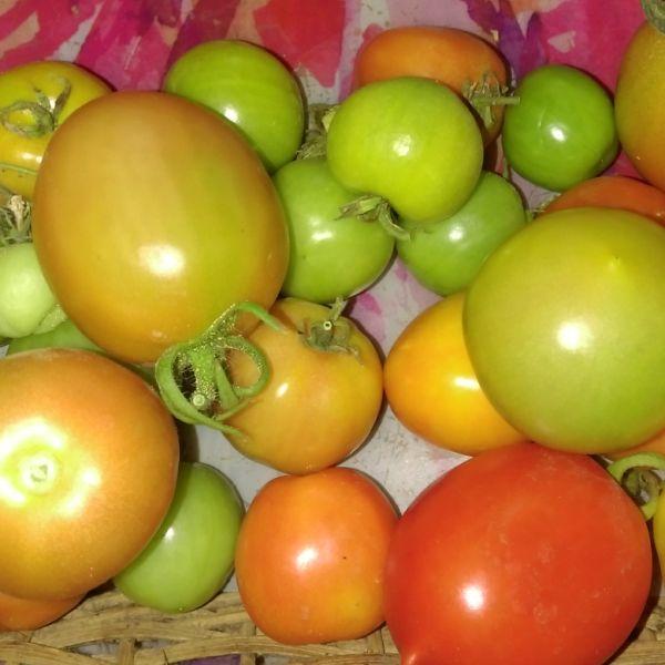 Solanum lycopersicum: Tomato