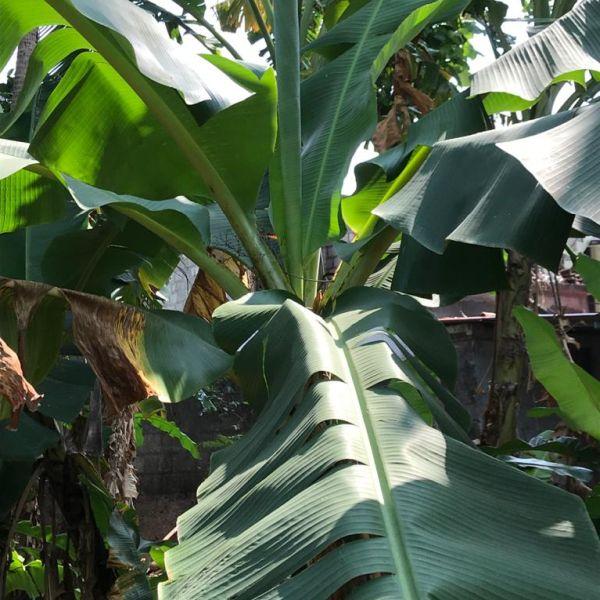 Musa: Banana Tree