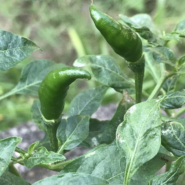 Capsicum annuum: Green Chillies