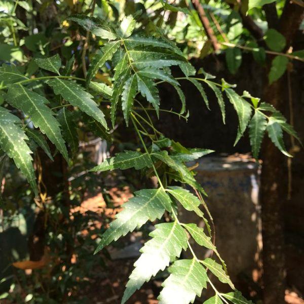 Azadirachta indica: Neem tree