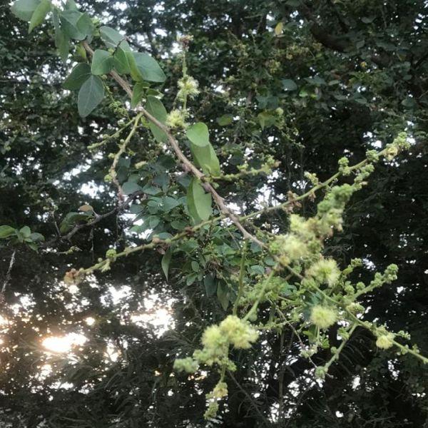 Pithecellobium dulce: Madras thorn