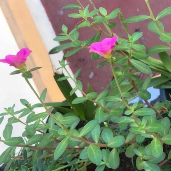 Portulaca grandiflora: Moss rose