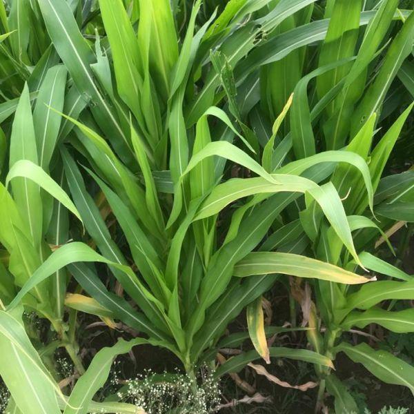 Zea mays: Maize, Corn