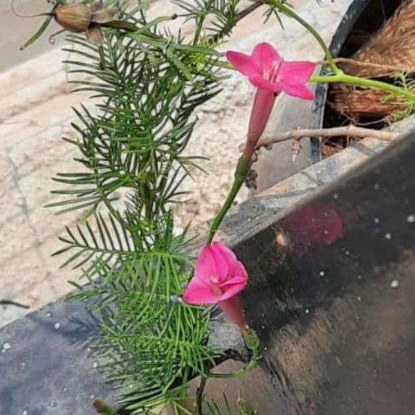 Ipomoea quamoclit: Cypress vine