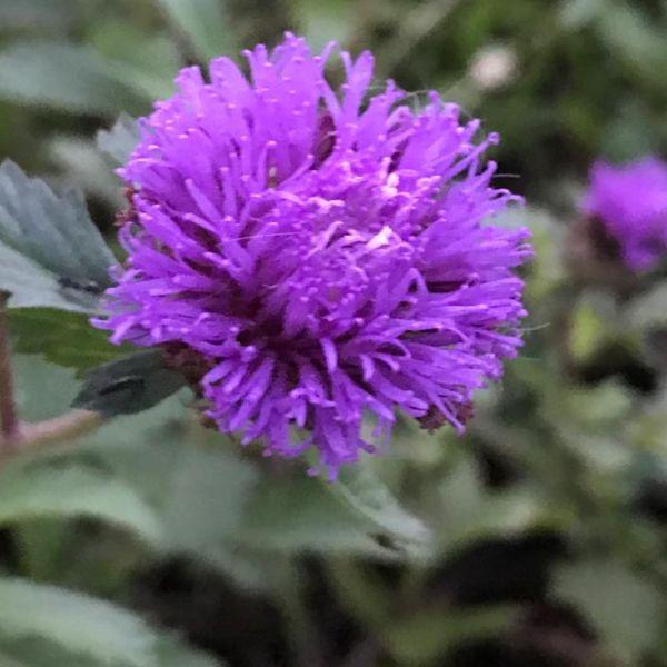 Centratherum punctatum: Larkdaisy