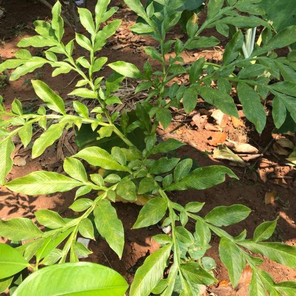 Amorphophallus paeoniifolius: Yam