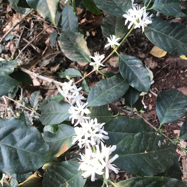 Coffea: Coffee flowers