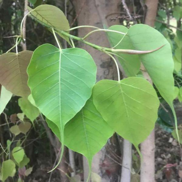 Ficus religiosa: Sacred fig tree