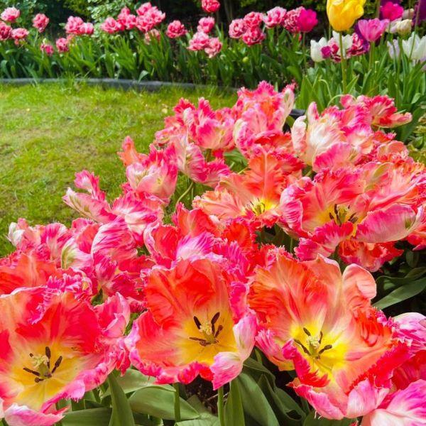 Tulipa: Tulips