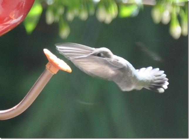 Hummingbird 013