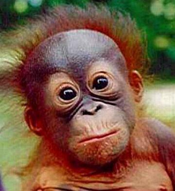 a baby orang utan 9