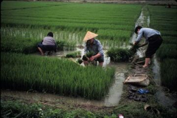 chinese agriculture