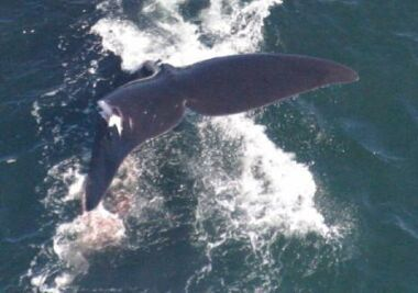 female right whale2