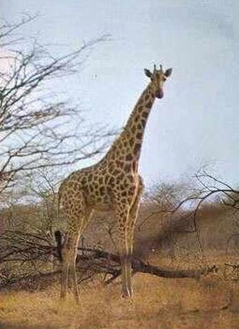 giraffa camelopardalis peralta2 9