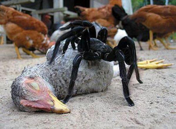 goliathbirdeating spider