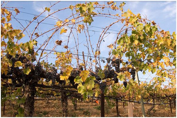 Honig Vineyard and Winery