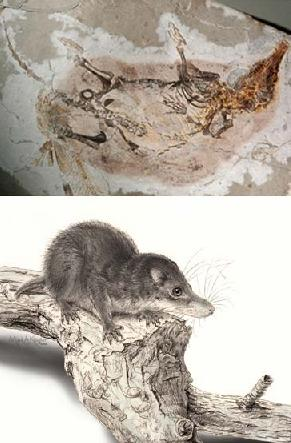 insect eating mammal fossil found in china