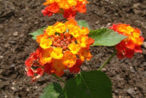 lantana camara or feston rose plant
