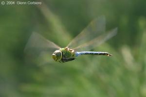 migrating dragonflies