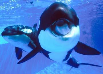orcas killewhale