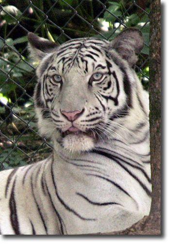 rare white bengal tiger