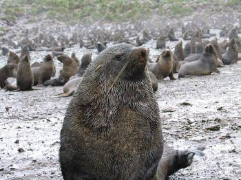 south georgias fur seals 9