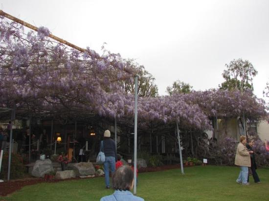 wistaria vine1