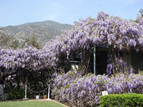 wistaria vine2