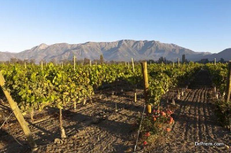 Healthy-Vineyard