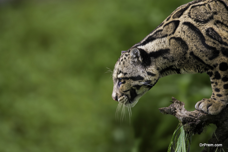 Formosan-clouded-leopard.