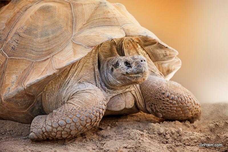 Pinta-tortoise