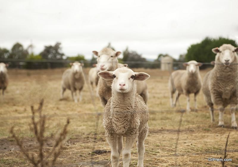 breeding sheep
